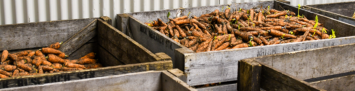 Two wooden crates filled with carrots